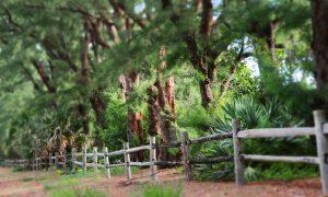 Gulf Stream, FL canopy of australian pines